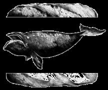 ballena transparente web